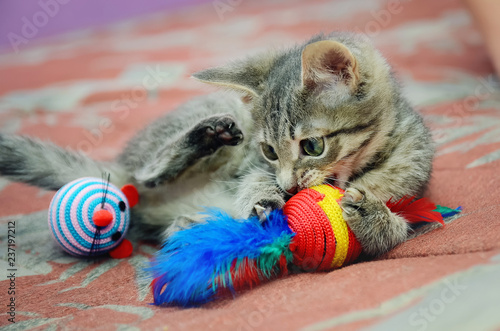 Canvas Prints Cat Cute home kitten playing with toys.