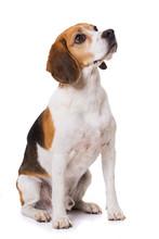 Adult Beagle Dog Sitting Isola...