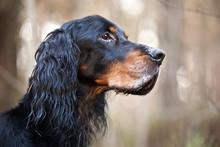 Dog Breed  Setter Gordonportrait In Profile