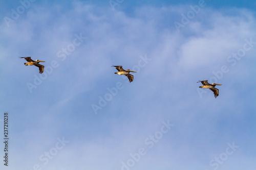 Fotografie, Obraz  3 Brown Pelican flying