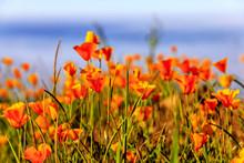 Field Of California Poppies, CA