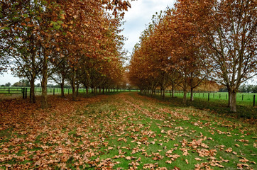 Grass road with two lines of trees in autumn with falling leaves and green grass on a cloudy day