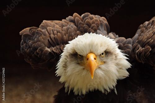 Poster Eagle Bald Eagle
