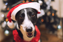 Black & White Lurcher Dog, Wearing A Santa Hat, Sat By A Christmas Tree, With Blurred Background