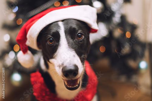 aecc1b392c09c Black   White Lurcher Dog