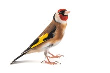 European Goldfinch, Carduelis ...