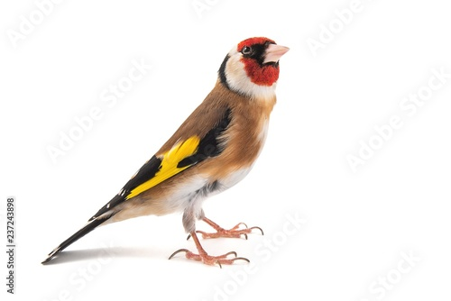 Foto op Plexiglas Vogel European Goldfinch, carduelis carduelis, standing, isolated on white background.