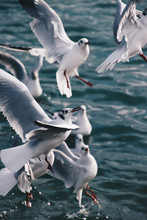 Seagulls In Flight Waiting To ...