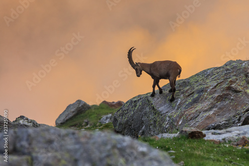 Poster Gris Ibex , Range of Mont Blanc , French Alps