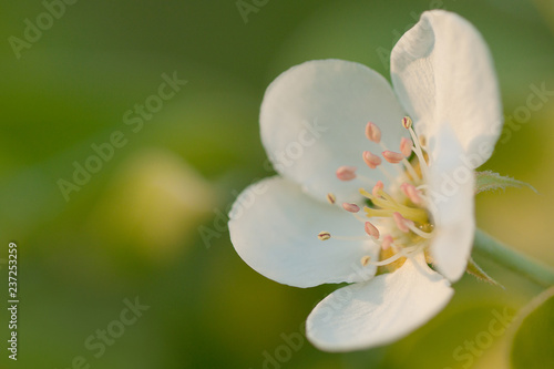 beautiful pear flower blooming in the summer sunny garden