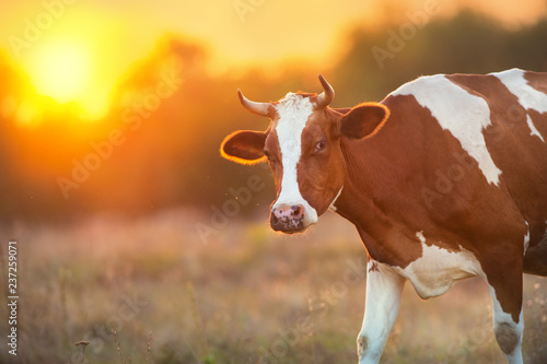 Cow portrait at sunset background