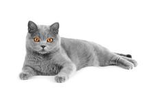 Gray British Cat On White Background