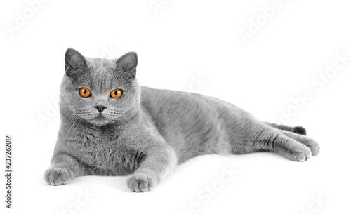 Obraz Gray british cat on white background - fototapety do salonu