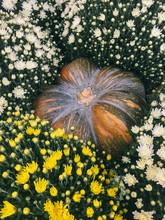 Pumpkin Covered With Fresh Chrysanthemum