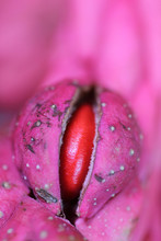 Magnolia Seed Appearing In The Opening Seed Pod