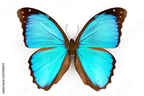 Fotografie, Obraz  Macrophotograph of the half of a blue Morpho Menelaus on a white background