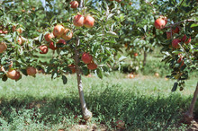 Gala Apples Ready For Harvest