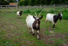 Bagot Goats In Padock Walking,...