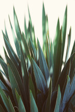 Beautiful Yucca Plant Leaves In Autumn Light