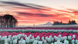 Fototapeta Kwiaty - a tulip field under a pink sunrise with a mountain in the background