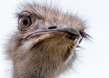 Close Up Of Head Of A Ostrich