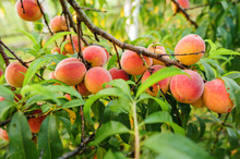 Peach Branches Hung With Plent...