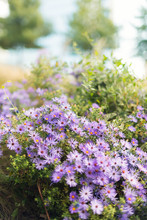 Purple Asters Blooming In A Garden