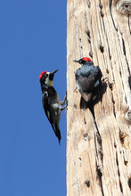A Pair Of Acorn Woodpeckers On A Favorite Tree