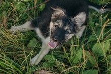 Lovely Puppy Laying On The Grass And Looking At Camera