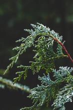 A Cedar Branch Covered In Dew