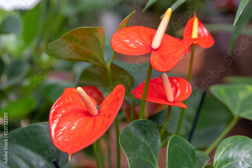 Photo Three bright red anthurium flowers