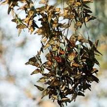 Hundreds Of Monarch Butterflies On A Eucalyptus Branch