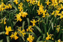 Bed Of Daffodils
