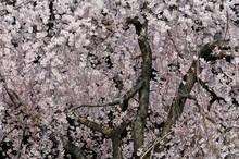 空に舞う枝垂れ桜