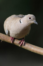Eurasian Collared Dove Perched