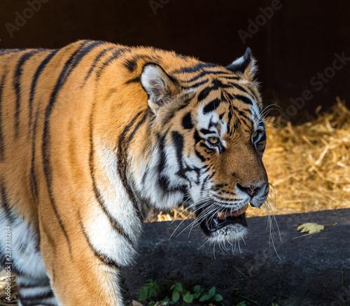 Foto auf AluDibond Tiger Tiger - Panthera tigris