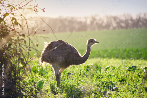 Wild american greater rhea or nandu (Rhea americana) in warm sunlight on a field in Mecklenburg-Western Pomerania, Germany. A small group of these ratites escaped 2000 from an enclosure, copy space