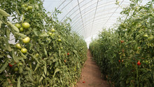 Plastic Tunnel Greenhouse Polytunnel With Vegetables Tomato Plants Inside