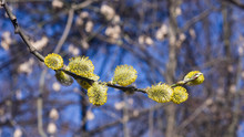 Branch Of Blossoming Willow Wi...