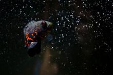 Oscar Fish In The Tank