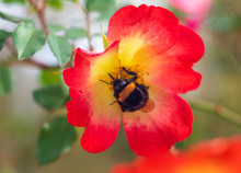 Beautiful Red Rose Flower On A Sunny Warm Day With A Big Bee