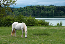 White Horse Grazing Near A Lake In Bavaria