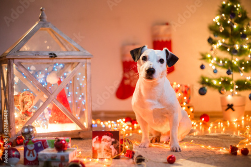 Fotografie, Obraz  jack russell terrier dog doing tricks by Christmas tree with presents new year