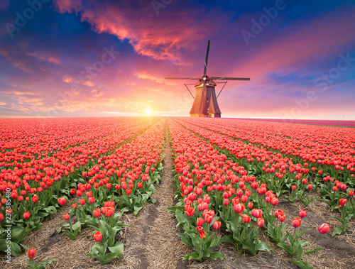 Landscape with tulips, traditional dutch windmills and houses near the canal in Zaanse Schans, Netherlands, Europe Canvas