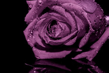 Lilac Rose Background Black Wa...
