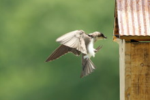 A Female Tree Swallow Bring In...