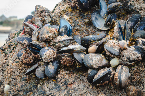 Valokuva  Wild mussels in the nature, on the rocks of the shore