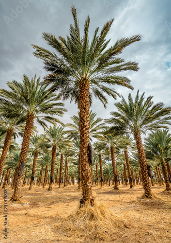 Photo Stands Roe Plantation of date palms. Image depicts advanced tropical and desert agriculture in the Middle East