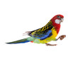 parrot Rosella parrot with almond isolated
