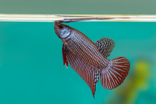 Mahachai Betta Or Betta Mahach...